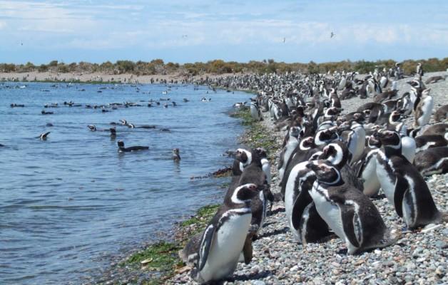 Llegan los primeros Pingüinos de Magallanes a Puerto Deseado