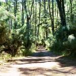 Bosque-de-araucarias