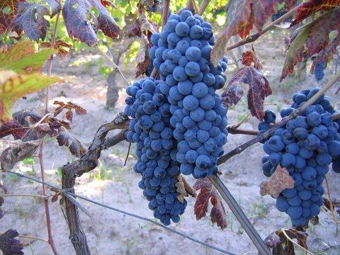Mendoza y el origen de la vendimia