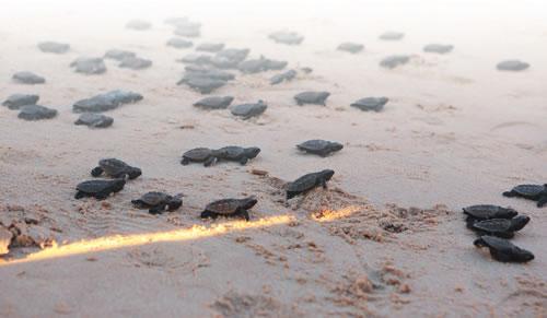 Tortugas marinas, visitan el balneario de Pernambuco en Porto de Galinhas